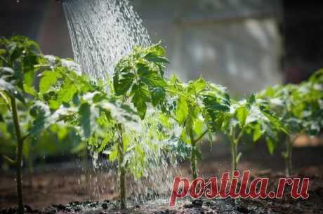 Перекись водорода как супер средство для рассады помидоров