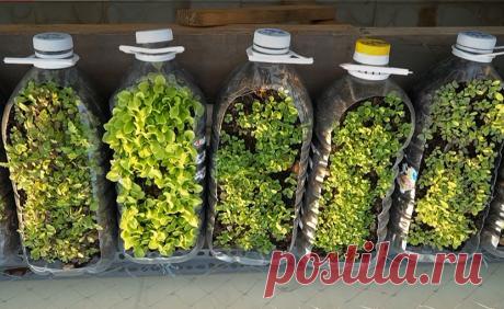 Не выкидываю пустые пятилитровки, показываю как я в них выращиваю зелень круглогодично, на даче или балконе | Ракушка | Яндекс Дзен