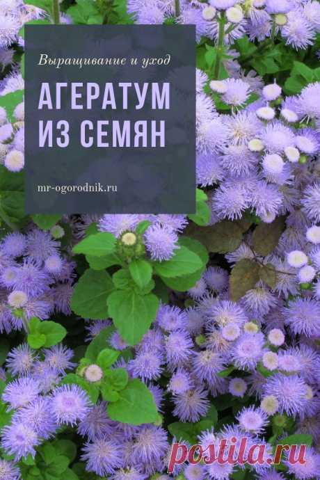 Выращивание агератума из семян, когда сажать цветок