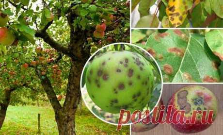 Чем лечить и как бороться с паршой на яблоне, меры профилактики