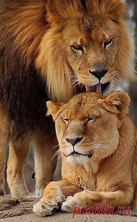A Lions Love | God's Creatures