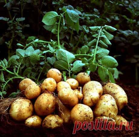 Выращиваем картофель по методу Л.П. Квартальновой.