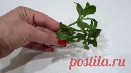 Этот способ укоренения растений действует даже там, где другие бессильны…