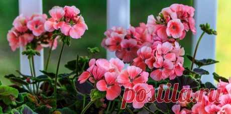 Как обрезать герань для пышного цветения на зиму Герань – неприхотливое растение, она будет прекрасно расти на любом подоконнике. У нее есть только один, но значительный минус – цветок вытягивается вверх очень быстро, без должного ухода его внешний ...