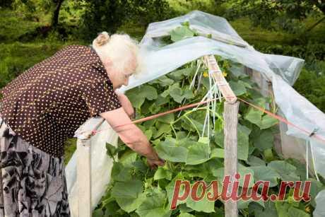 Плодоношение огурцов до сентября и даже до октября
