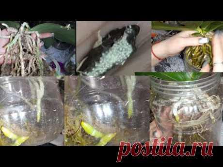 Орхидеи Растут С Голыми Корнями без Субстрата/Орхидеи в морских камнях/Грибы в посадке очень опасно