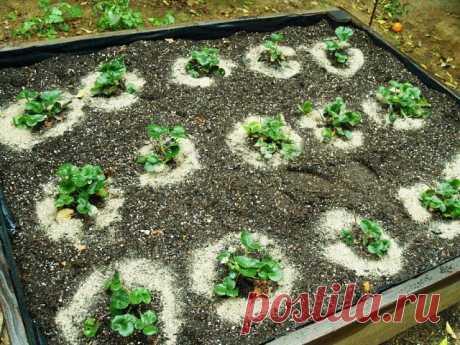 Советы садоводам, которые собираются сменить клубничное место  На лейку накапаете 15 капель йода и 2 грамма борной кислоты, размешиваете как следует и поливаете под каждый куст, предварительно увлажнив почву (после дождя или после хорошего полива). При этом стар…