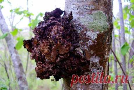 В чём польза березового гриба | Ваши 6 соток | Яндекс Дзен