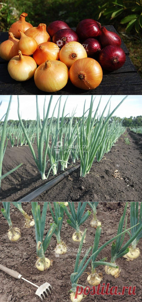 Top dressing of onions on a turnip in an open ground
