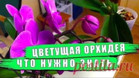 Цветущая орхидея, уход, подкормка, полив Орхидеи - фаленопсисы будут цвести как бешенные