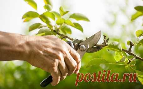 El calendario los pedazos de los árboles frutales - Sadovodka