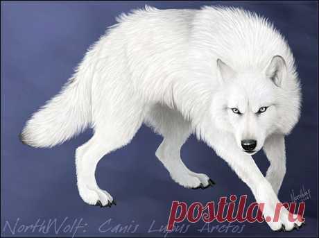 Волк альбинос. Красивый, гад