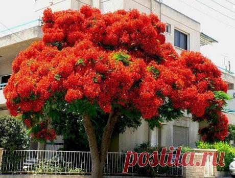 """Делоникс Королевский, или """"огненное дерево"""", считается одним из красивейших цветущих деревьев мира."""