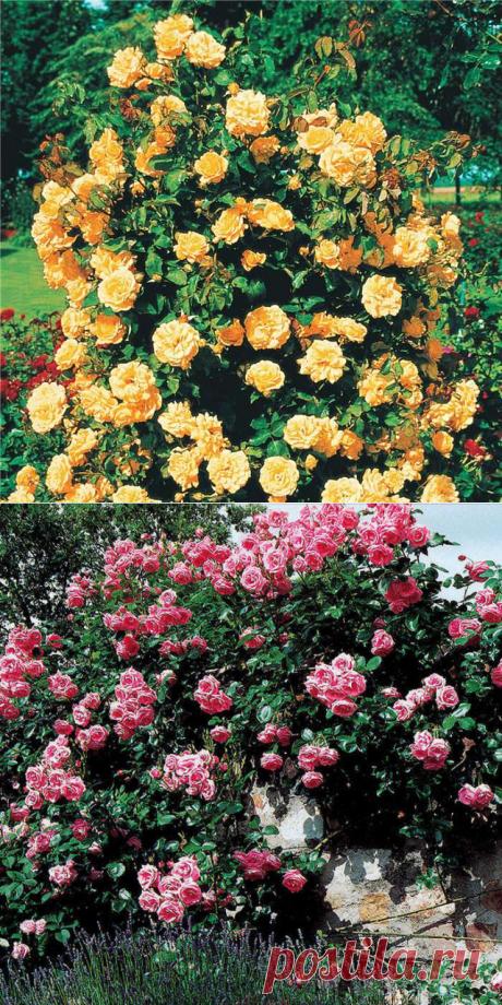 Выращивание плетистых роз.