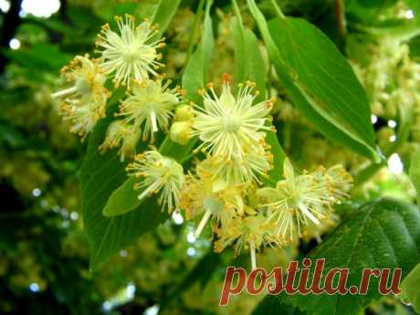 Липoвый цвeт — пpaвильнo coбиpaeм, xpaним и иcпoльзyeм — Садоводка