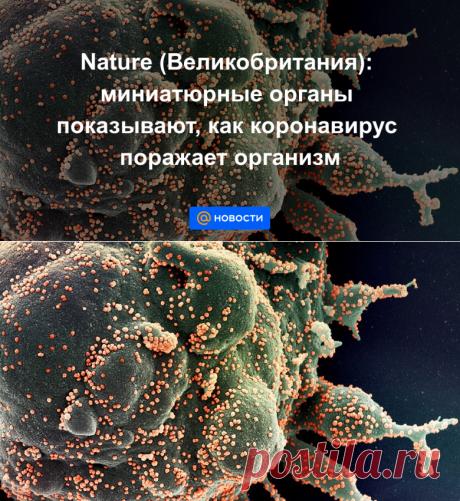 Nature (Великобритания): миниатюрные органы показывают, как коронавирус поражает организм - Новости Mail.ru