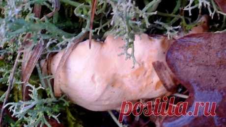 Малознакомые, но вкусные и полезные грибы. Названия, описание, фото — Ботаничка.ru