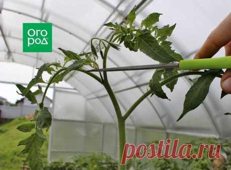 El cuidado de los tomates en agosto