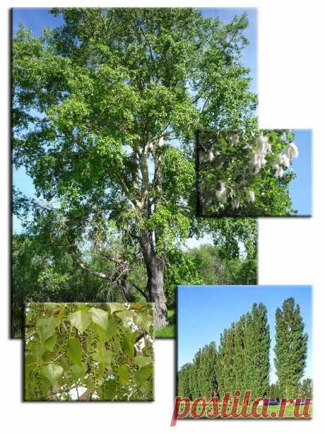 Породы древесины. Тополь.   Для тех, кто любит работать с деревом