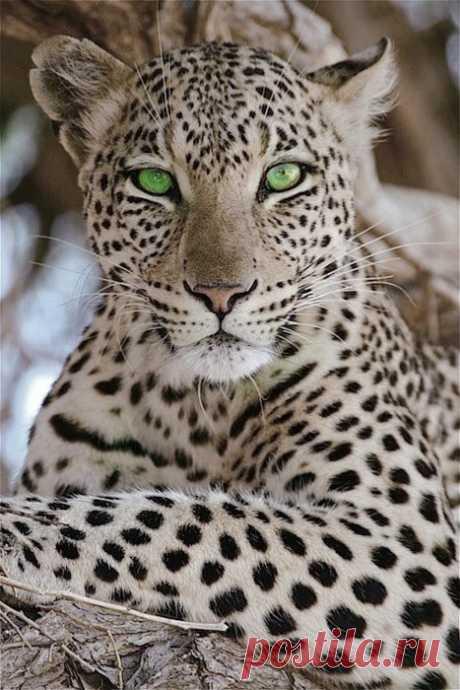 Великолепный зеленоглазый леопард