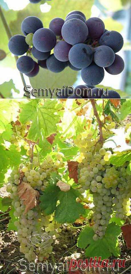 Как вырастить виноград | СЕМЬЯ И ДОМ