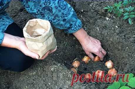 7 распространенных ошибок, которые допускают дачники при посадке тюльпанов осенью - Цветочки - медиаплатформа МирТесен