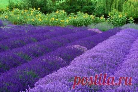 Cultivation of the Lavender