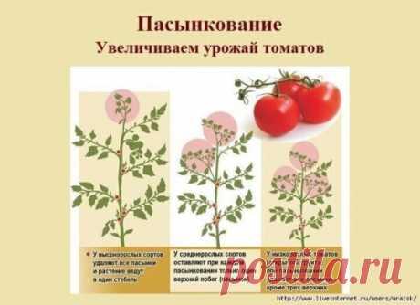 В видео-уроки показывается как правильно пасынковать помидоры. Все зависит от сорта помидор. А я удаляю листья под пасынком и у меня помидор много и томаты меньше болеют, так как  теплица больше проветривается. А как вы делаете?