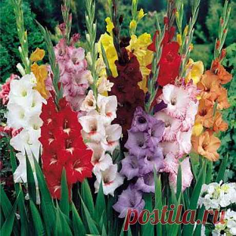 Как посадить гладиолусы весной | Дача - впрок