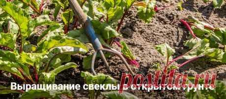 Выращивание свеклы в открытом грунте: пошаговая агротехника Выращивание свеклы в открытом грунте: пошаговая агротехника. Как посадить свеклу через рассаду, когда пересаживать в открытый грунт в Сибири. Как поливать.