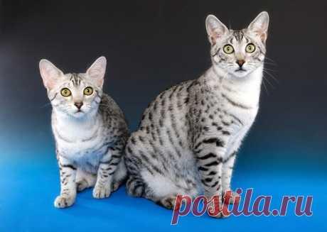 Самые быстрые и активные породы кошек на планете | PetTips