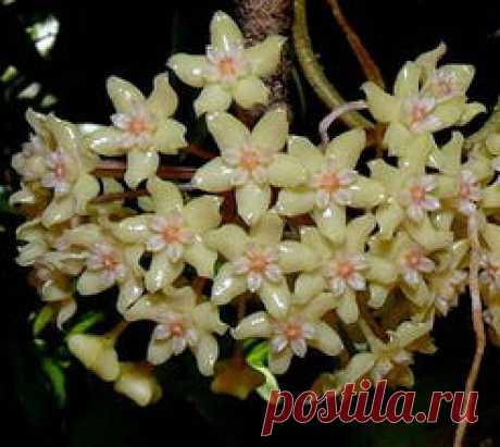 Хояй Пентафлебия,- Hoya pentaphlebia или  Хойя пятижилковая