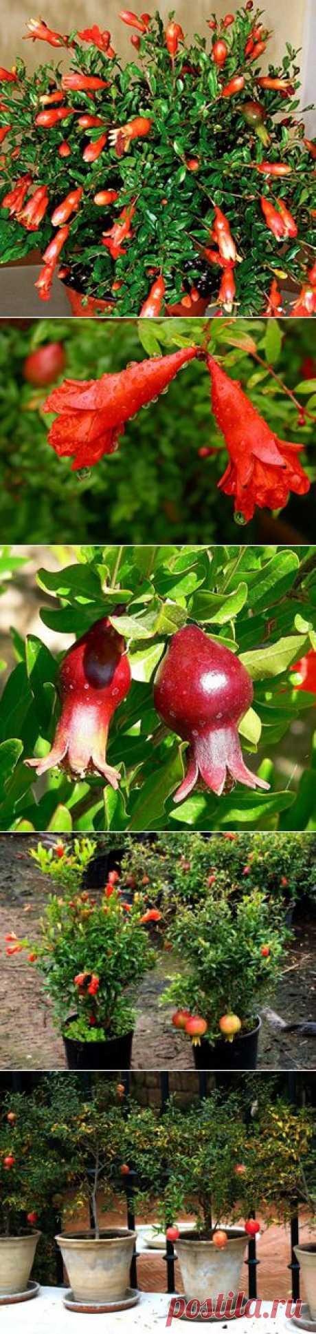 Гранат комнатный. Гранат карликовый (комнатный): уход, обрезка, размножение, сорта, выращивание в домашних условиях - Сайт о растениях