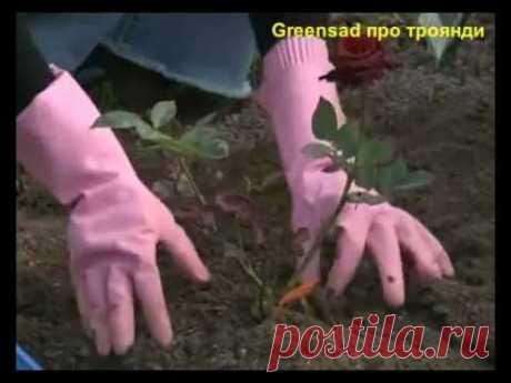 """""""Моя любимая дача!"""": Все этапы посадки роз"""