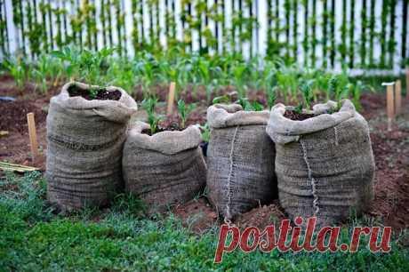 ✔ ПОЛЕЗНЫЕ СОВЕТЫ :   Как выращивать картошку в мешках  Готовят вертикальные грядки в мае: возьмите для посадки клубней пластиковые мешки емкостью 10 ведер. Подойдут и мешки из-под муки, круп или сахара. Отверните края мешков наружу и в каждый насыпьте 2-3 ведра питательной почвенной смеси, состоящей из перегноя и обычной земли с грядки в равных пропорциях. Выложите посадочную картошку. Сверху осторожно присыпьте слоем грунта, чтобы не повредить хрупкие молодые побеги. Меш...
