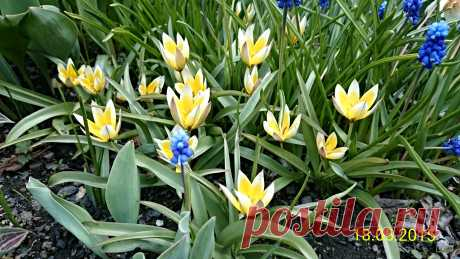 Тюльпан ботанический