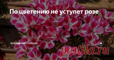 По цветению не уступет розе Неприхотливые однолетники