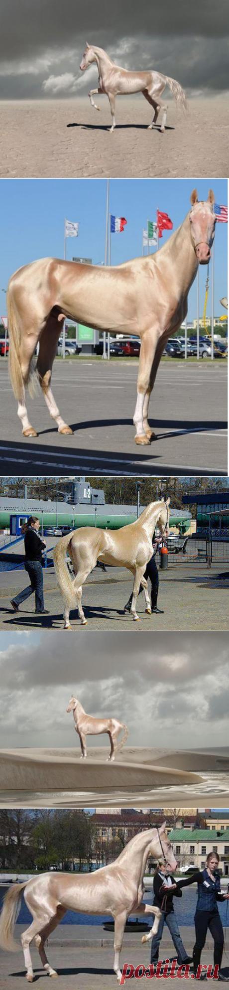 Супермодель в мире лошадей: ахалтекинская лошадь изабелловой масти