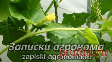 Как вырастить дыню рассадным способом • zapiski-agronoma.ru