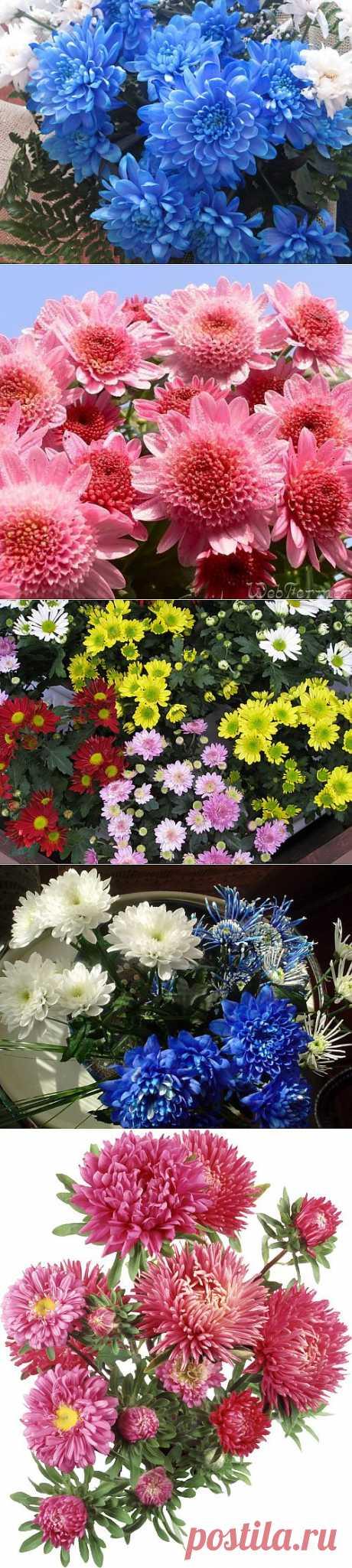 фото цветы хризантемы
