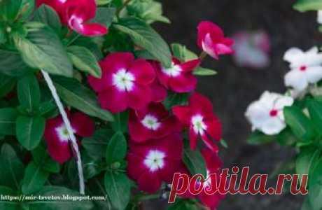 Мир растений: Катарантус или мадагаскарский барвинок - прекрасный цветок для дома, на балкон и для сада