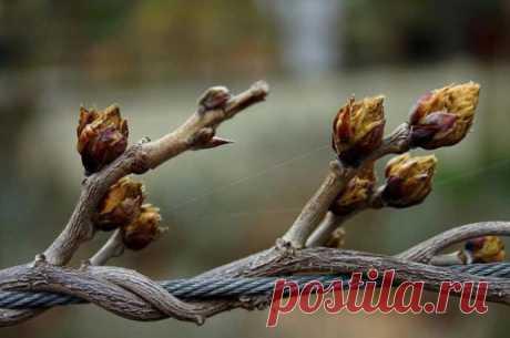 Когда открывать виноград после зимы: сроки, температура, правила, защита от весенних заморозков, фото, видео