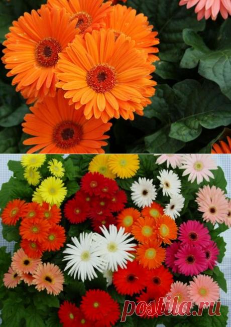 Как выращивать домашние герберы: сорта, посадка, уход