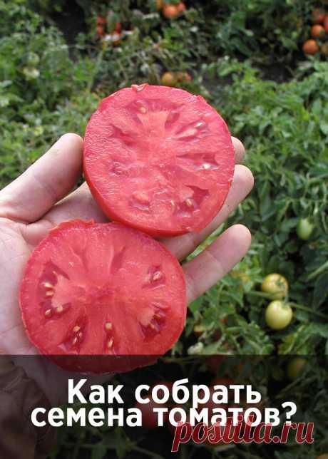 Как получить собственные семена томатов для посева в следующем году