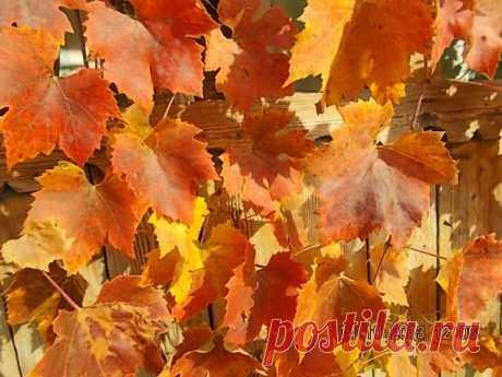 Буйство красок в листве виноградника