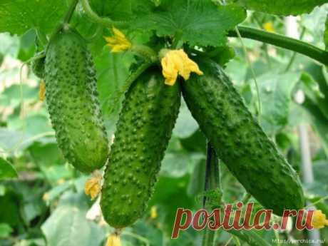 Йод и зеленка увеличат урожай огурцов и спасут от болезней.