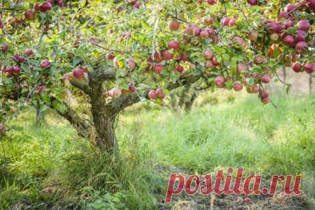 Идеальное плодовое дерево. К чему стремиться при формировании кроны? Рассказывает Николай Курдюмов