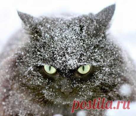 Снежный кот.