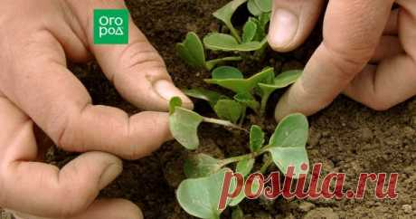 Прореживание овощей: что, когда, зачем и как не выдернуть лишнего Прореживание овощных культур – задача трудоемкая, но необходимая. Как бы вам ни было жалко выдергивать заботливо выращенные растеньица, без этой процедуры можно оставить надежды на хороший урожай.
