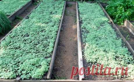 Посев горчицы на грядки весной, лучше или хуже осеннего посева?